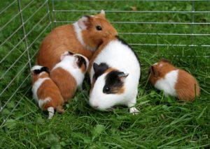 Meerschweinchen guinea pig guineapig Haustier Tier Kind süß haarig knuddelig niedlich Gras Familie