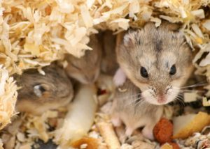 Mother with baby hamsters