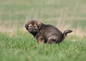chiot dogue du tibet faisant ses besoins dans l'herbe-caca