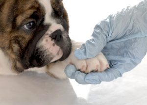 veterinary care - english bulldog puppy with paw being held by gloved hand