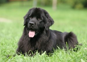 Newfoundland on grass