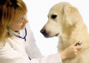 veterinarian doctor making a checkup of a golden retriever dog